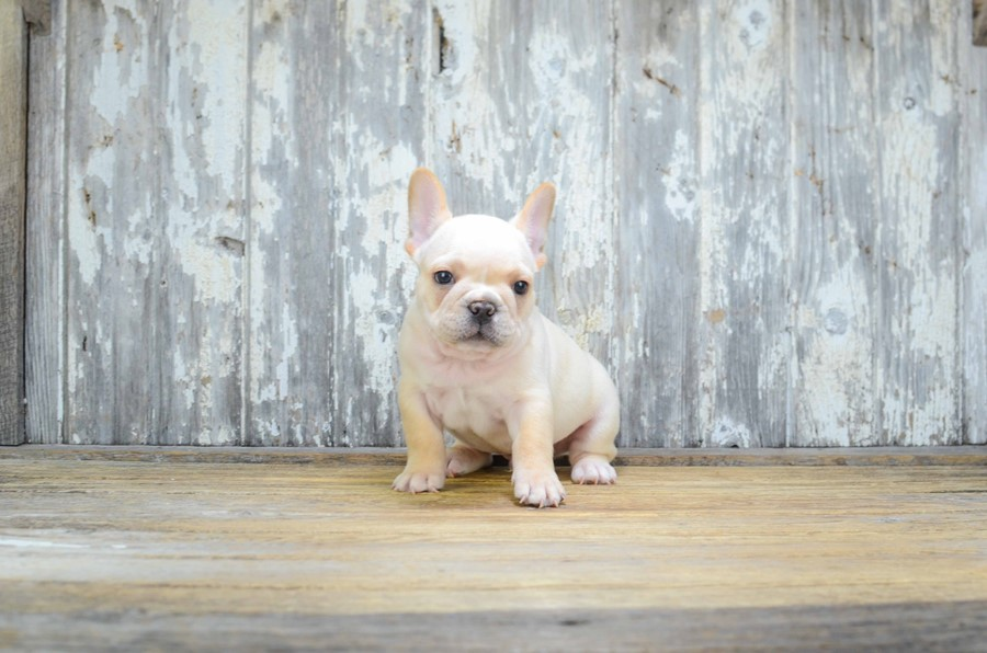 FRENCH BULLDOG PUPPY 4