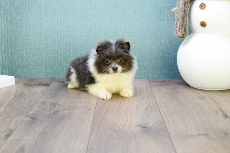 Micro Teacup Blue is one of our POMERANIAN PUPPIES!!!