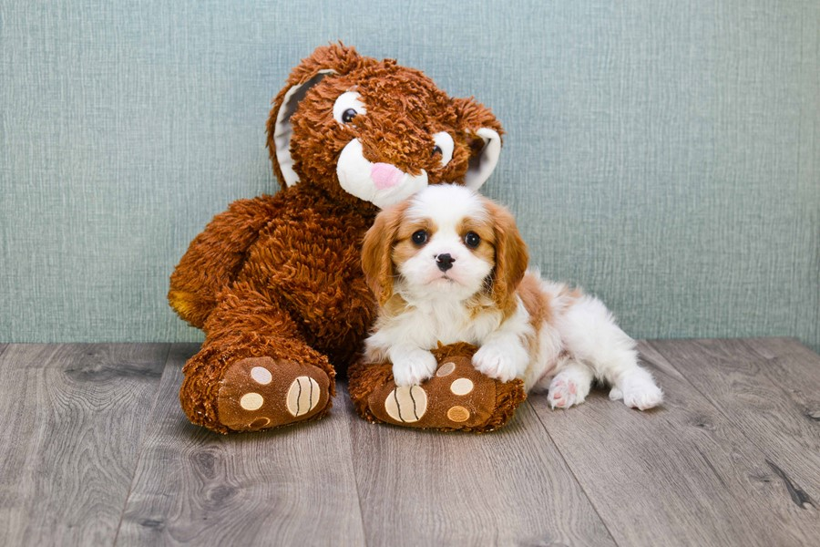 CAVALIER KING CHARLES PUPPY 1