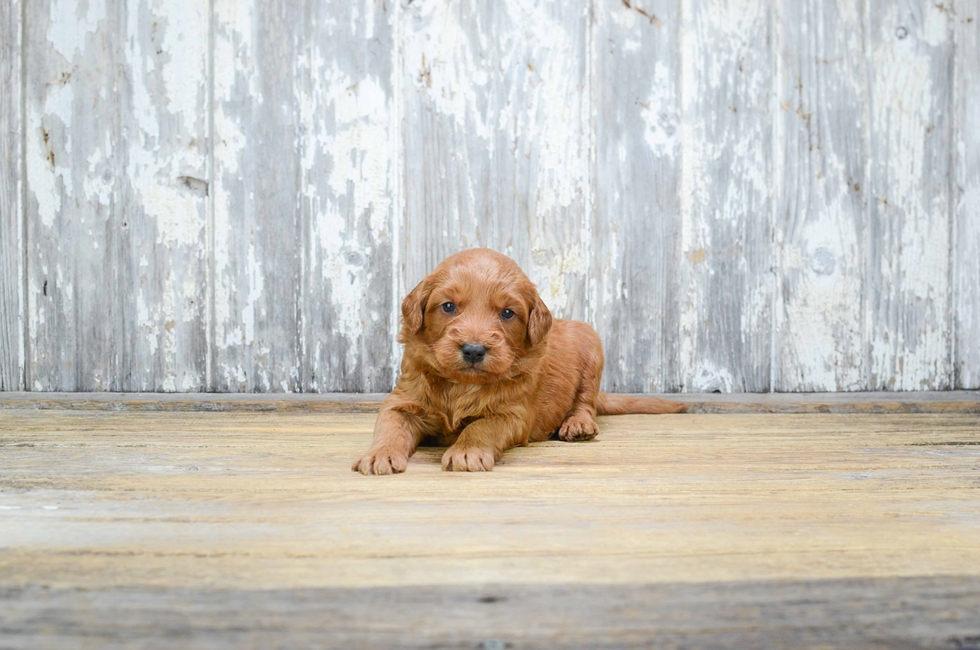 MINI GOLDENDOODLE PUPPY - 40 week old Mini Goldendoodle