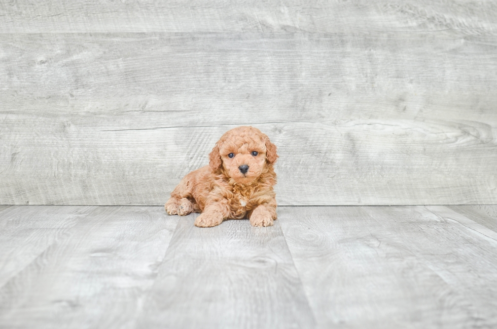 MINI POODLE PUPPY - 9 week old Toy Poodle for sale
