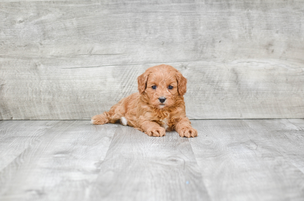CAVA POO PUPPY - 7 week old Cava Poo for sale