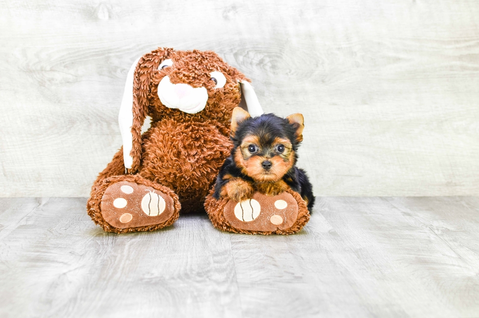 TEACUP YORKIE PUPPY - 11 week old Yorkshire Terrier for sale