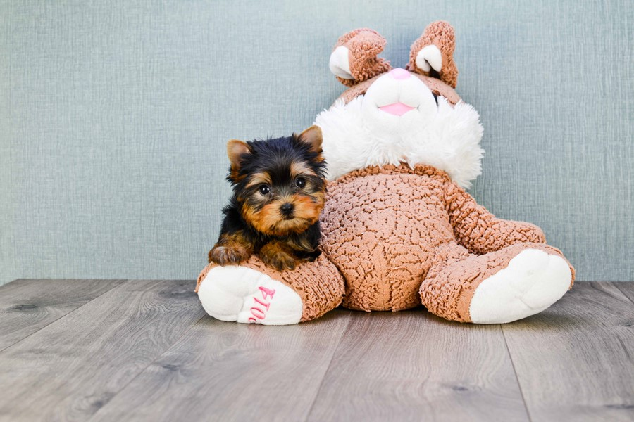 MICRO TEACUP YORKIE PUPPY 5