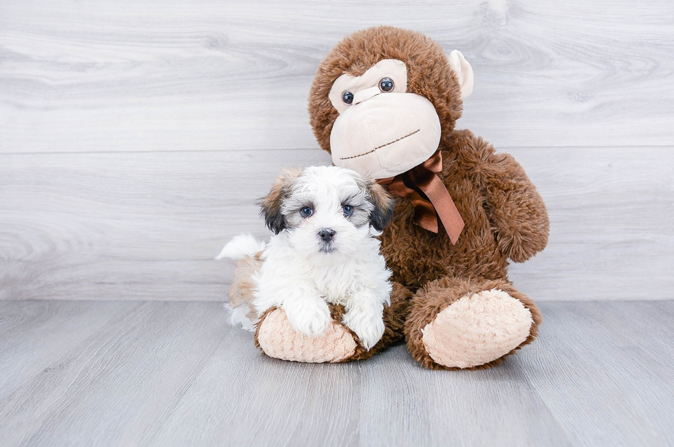 Teddy Bear Puppies For Sale Buy Akc Shichon Pups At