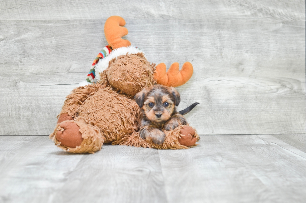 Shorkie puppies for sale small cross breed puppies for for Dog kennels for sale in ohio