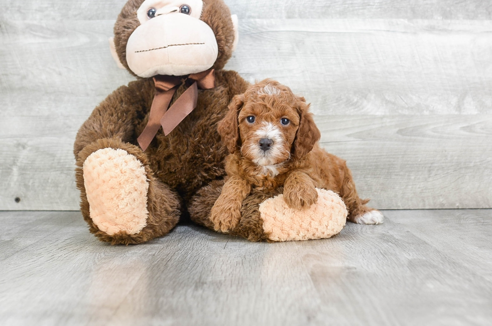 F1B MINI GOLDENDOODLE PUPPY - 9 week old Mini Goldendoodle for sale