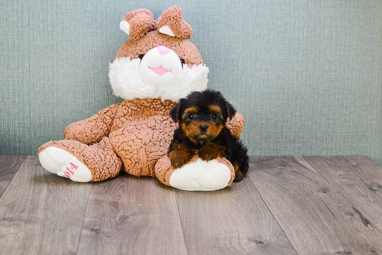 TEACUP YORKIE PUPPY 5