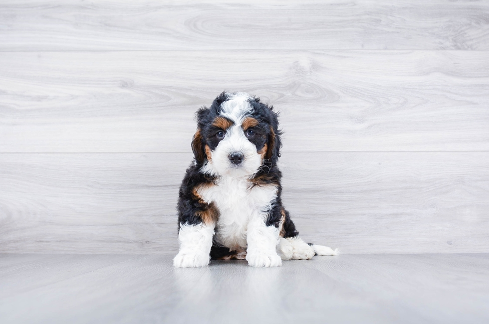 F1 MINI BERNEDOODLE PUPPY - 7 week old Mini Bernedoodle for sale