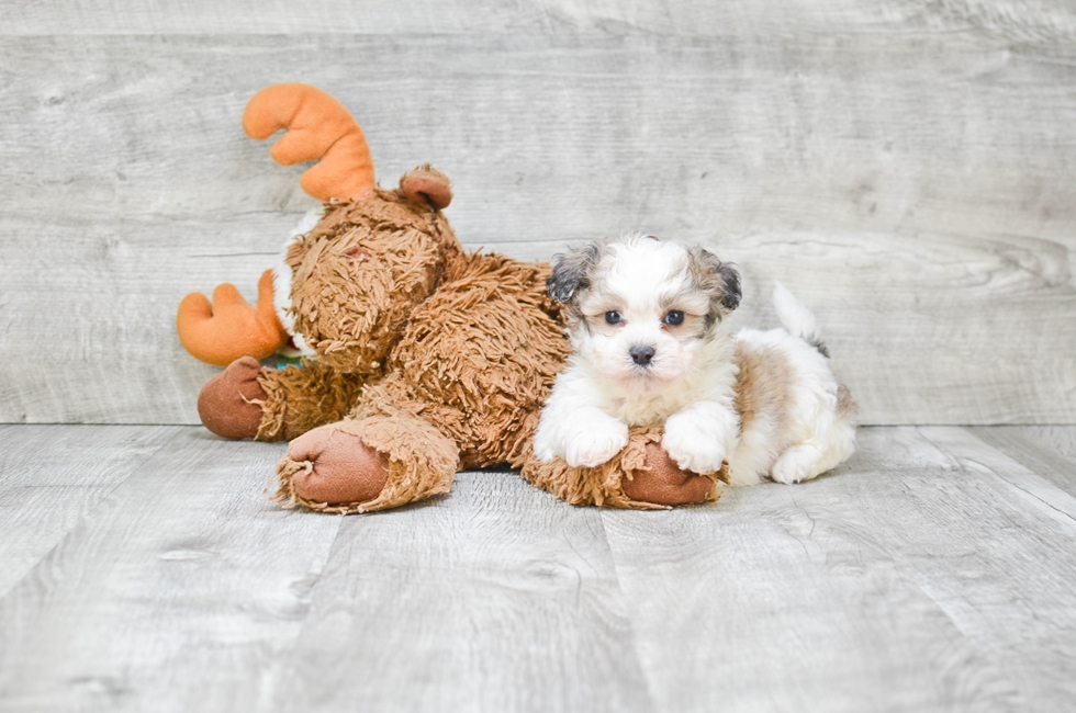 TEDDY BEAR PUPPY - 7 week old Teddy Bear for sale