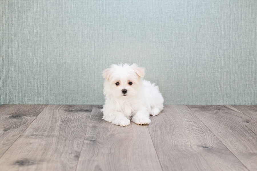 maltese haircuts styles pictures teacup maltese puppy 1195