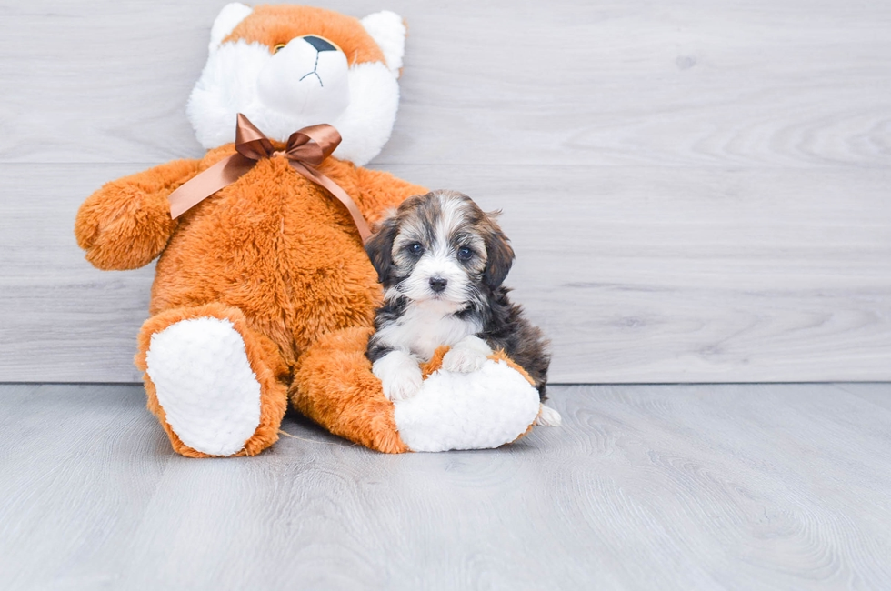 F1B MINI BERNEDOODLE PUPPY - 10 week old Mini Bernedoodle for sale