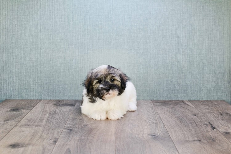 Havanese Puppy For Sale Premier Pups
