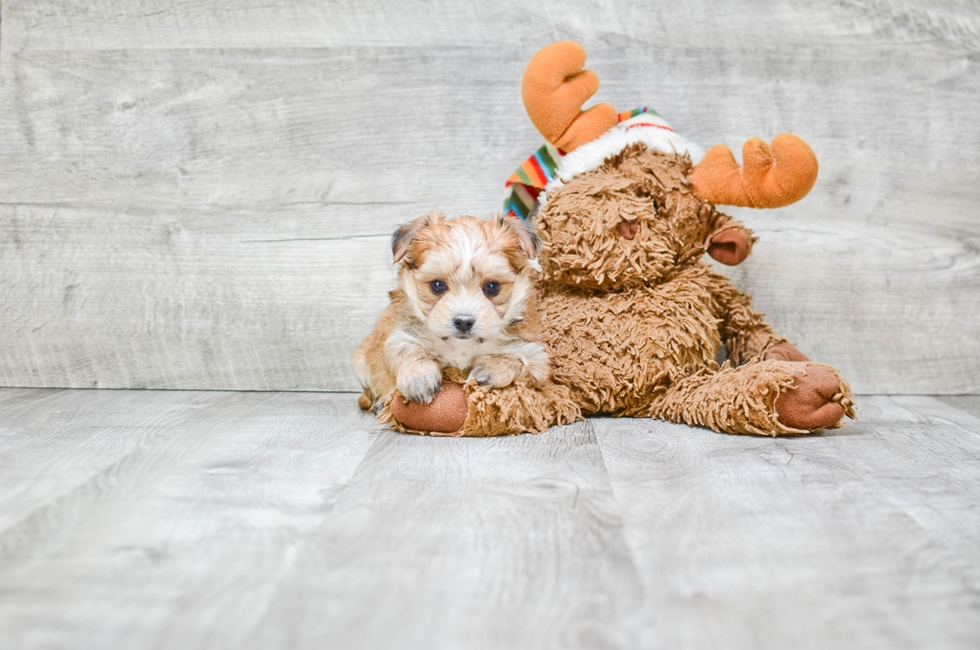 TEACUP MORKIE PUPPY - 6 week old Morkie for sale