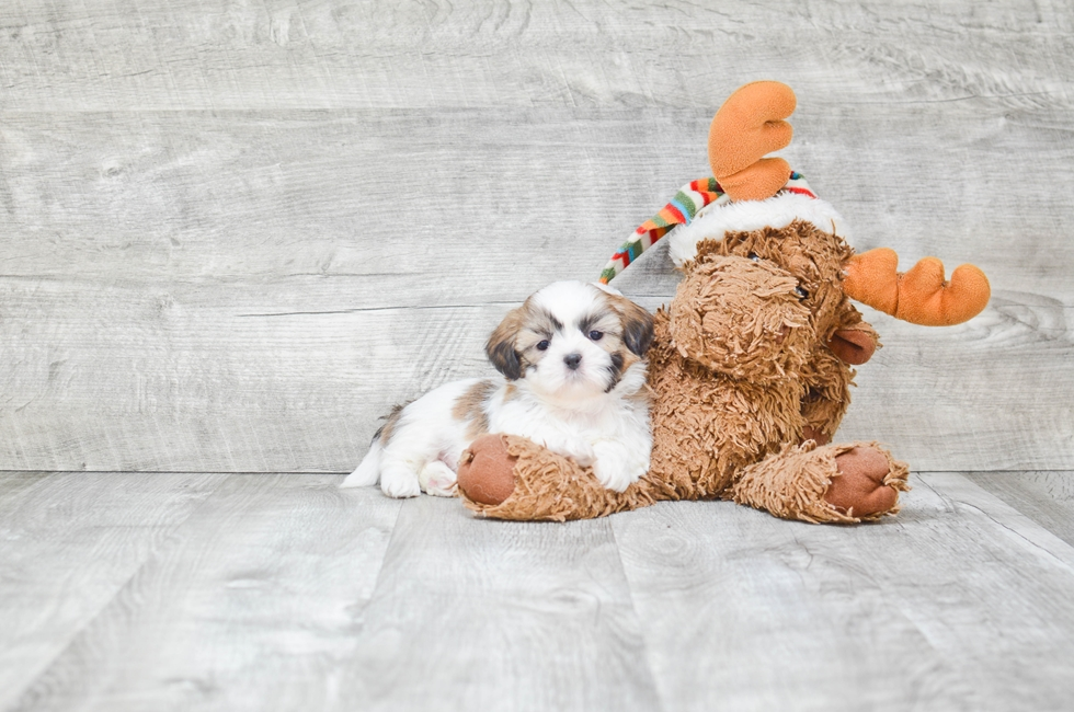 TEDDY BEAR PUPPY - 6 week old Teddy Bear for sale