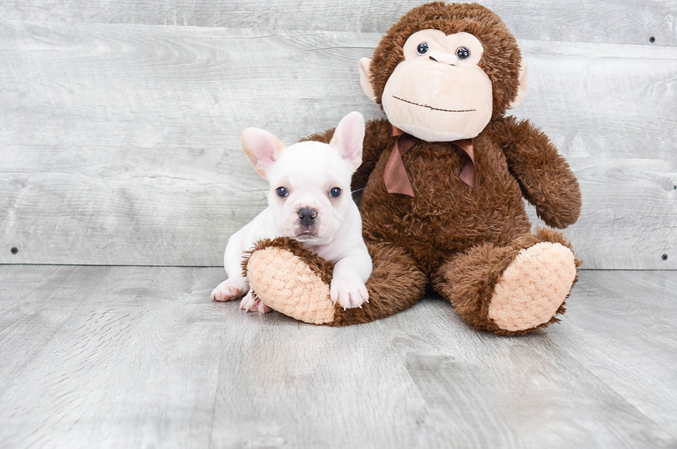 FRENCH BULLDOG PUPPY - 6 week old French Bulldog for sale