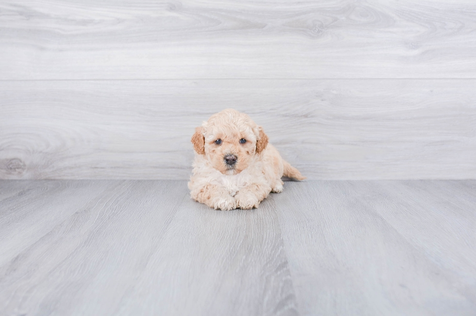 F1B PETITE GOLDENDOODLE PUPPY - 7 week old Mini Goldendoodle for sale