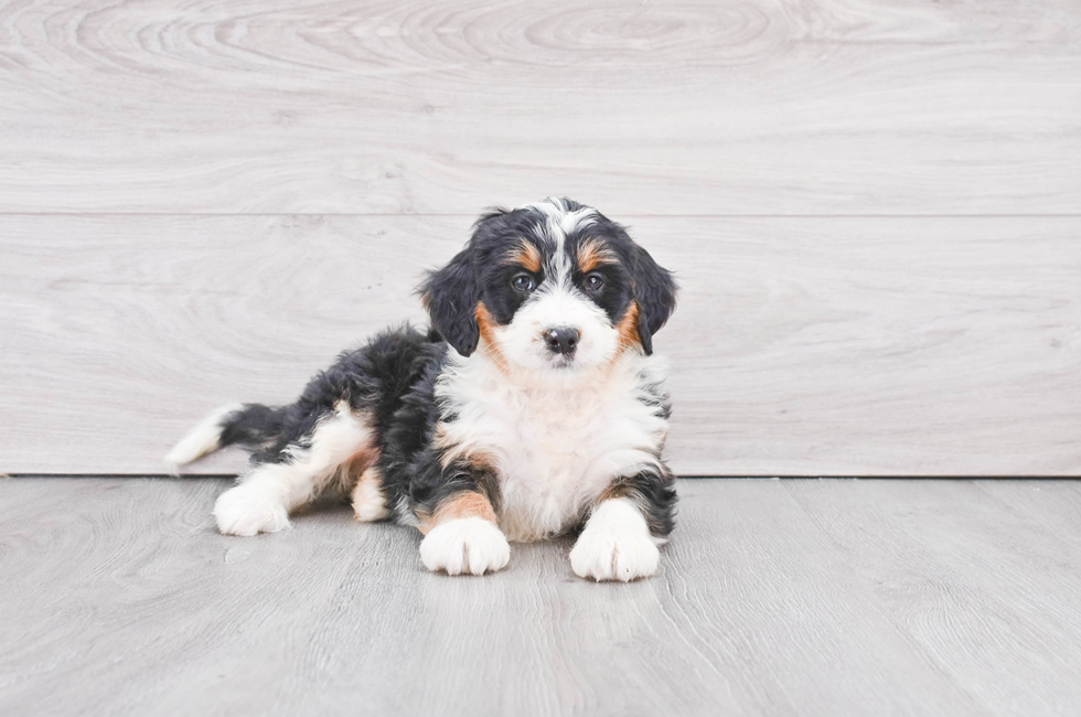 Small Breed Puppies For Sale Teacup Pups For Sale In Ohio