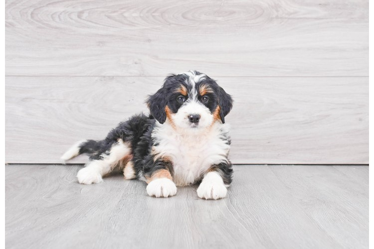F1 MINI BERNEDOODLE PUPPY 1