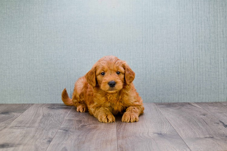 MINI GOLDENDOODLE PUPPY 2