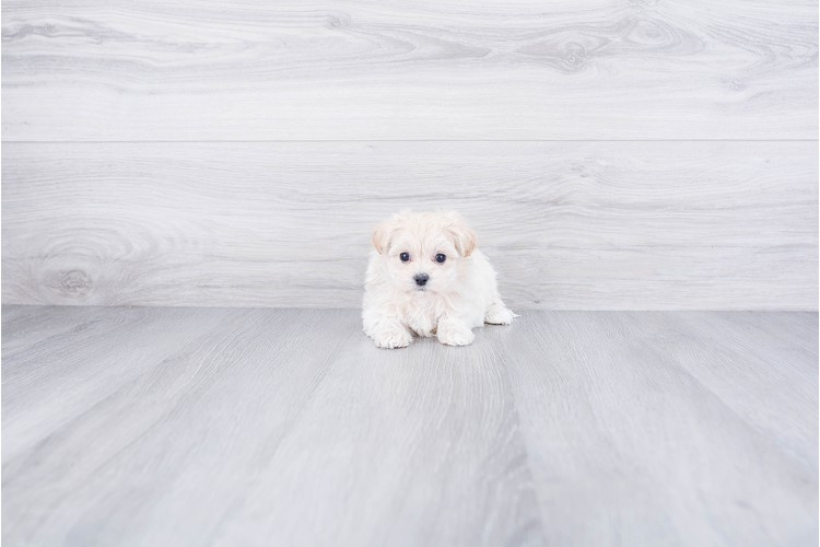 TEACUP MALTI POO PUPPY 3