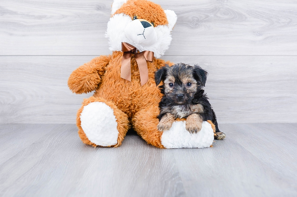 YORK CHON PUPPY - 6 week old Morkie for sale