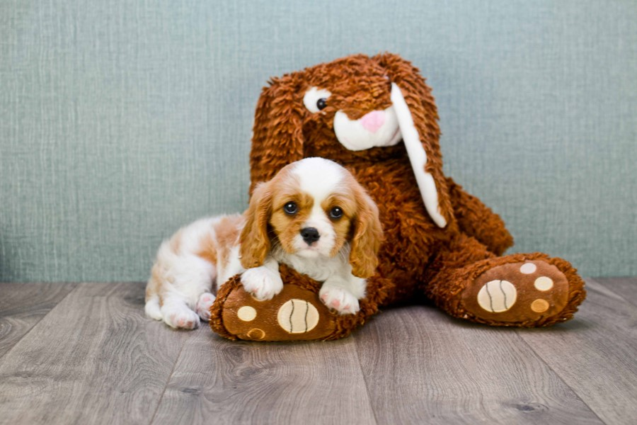 CAVALIER KING CHARLES PUPPY 4