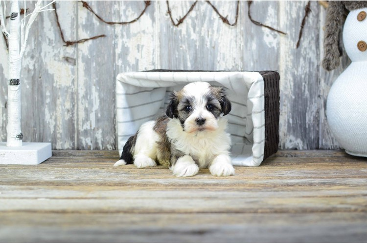 Hannah Is Our Havanese Puppy For Sale In Ohio