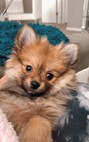 Pomeranian Puppy For Sale Premier Pups