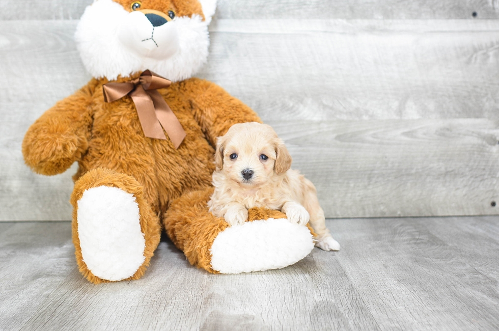 MALTI POO PUPPY - 7 week old Malti Poo for sale