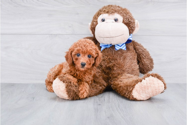 MINI POODLE PUPPY 2