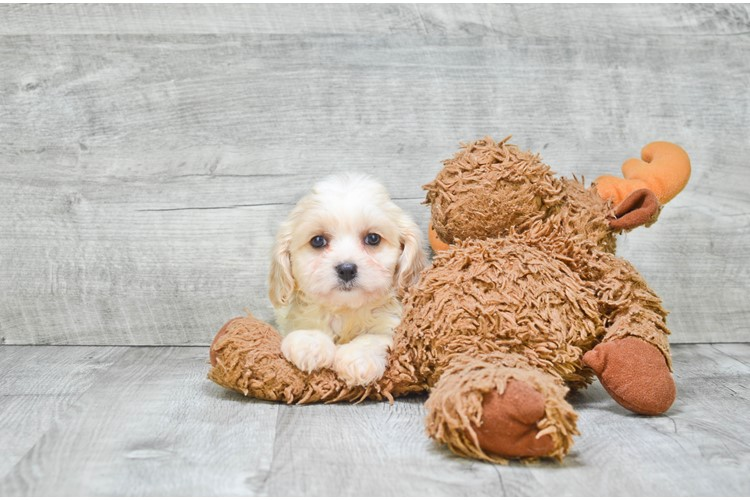 Cavachon Puppy For Sale Premier Pups