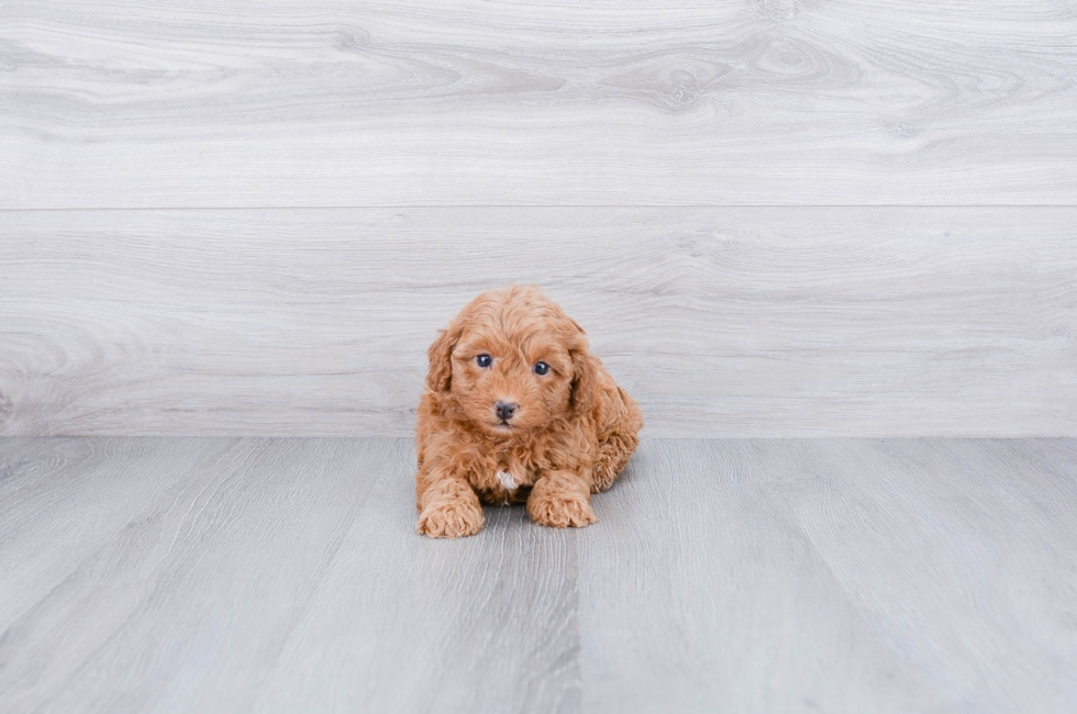 F1B CAVA POO PUPPY - 8 week old Cava Poo for sale