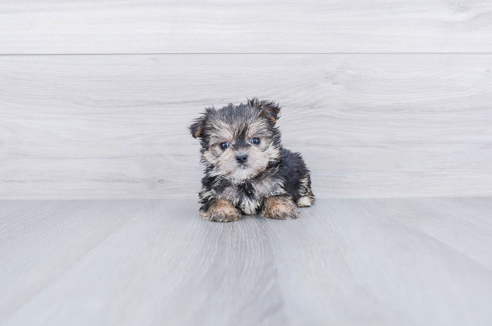 MORKIE PUPPY - 9 week old Morkie for sale