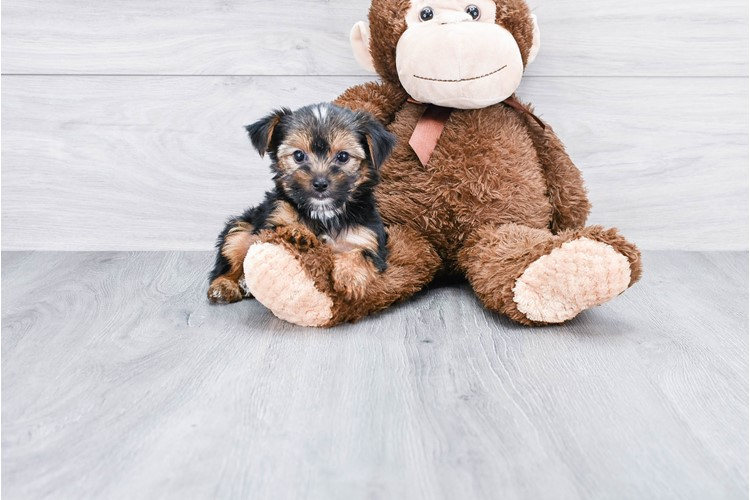 TEACUP YORKSHIRE TERRIER PUPPY 2