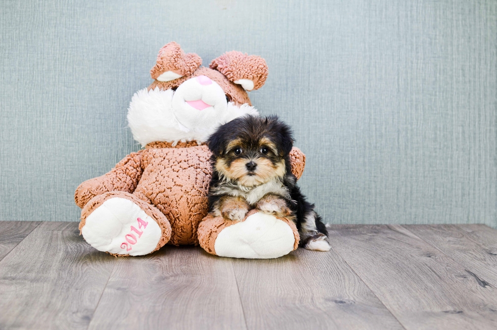 TEACUP MORKIE PUPPY - 9 week old Morkie for sale