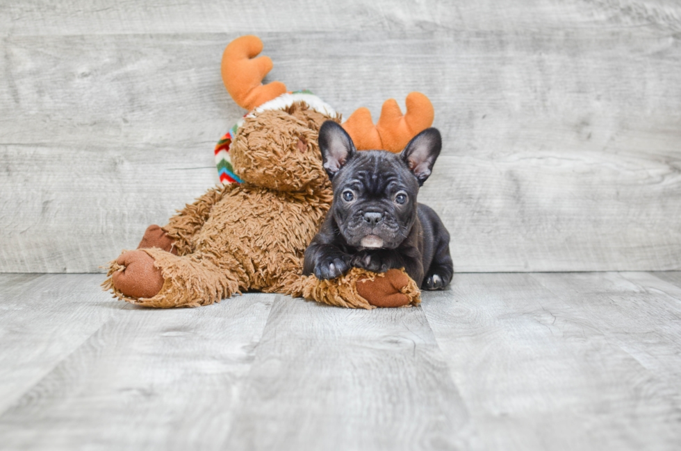 FRENCHTON PUPPY (LOCAL PICK-UP OR REGIONAL DELIVERY) - 8 week old French Bulldog for sale
