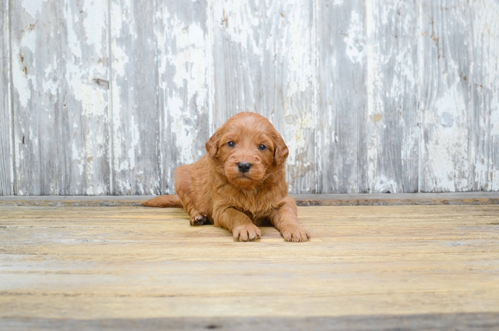 MINI GOLDENDOODLE PUPPY - 7 week old Mini Goldendoodle