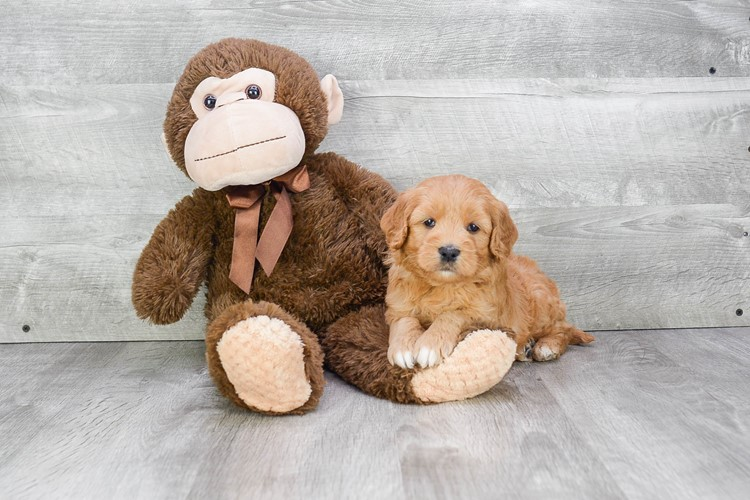 F1 MINI GOLDENDOODLE PUPPY 5