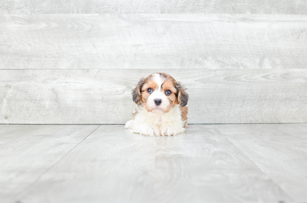 CAVA CHON PUPPY - 5 week old Cava Chon for sale