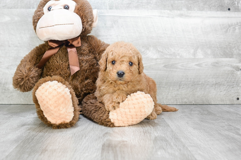 F1 MINI GOLDENDOODLE PUPPY - 10 week old Mini Goldendoodle for sale