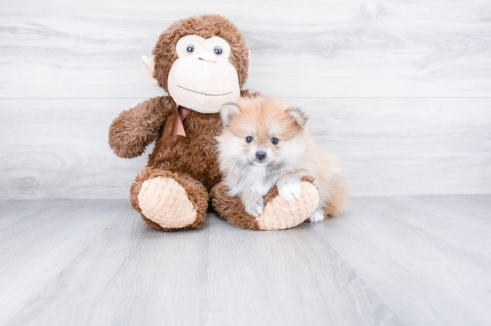 POMERANIAN PUPPY - 7 week old Pomeranian for sale
