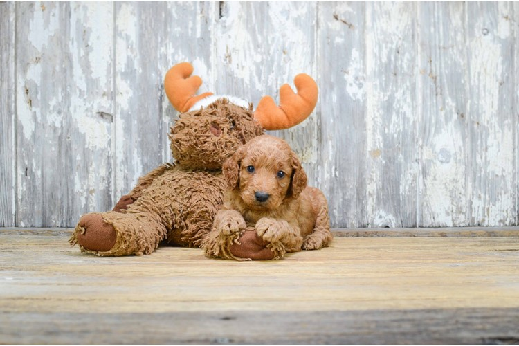 MINI GOLDENDOODLE PUPPY 4