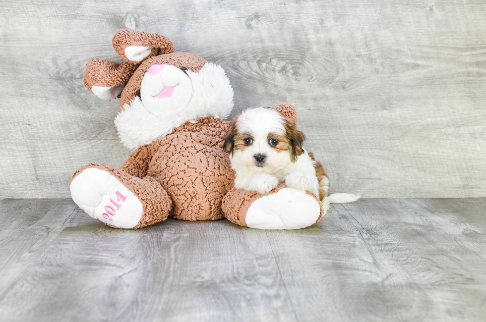 Teddy Bear Puppies For Sale Shichon Puppies