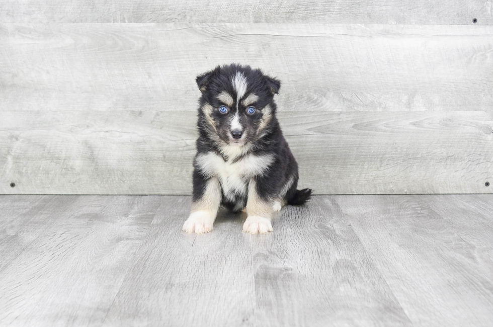 F2 POMSKY PUPPY - 5 week old Pomsky for sale