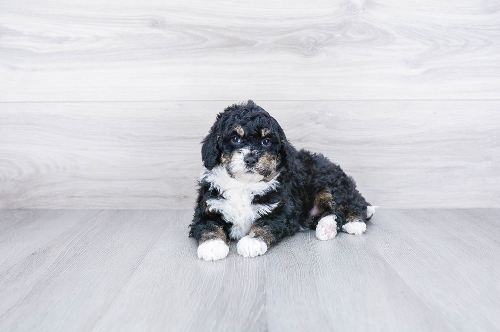 F1B MINI BERNEDOODLE PUPPY - 7 week old Mini Bernedoodle for sale