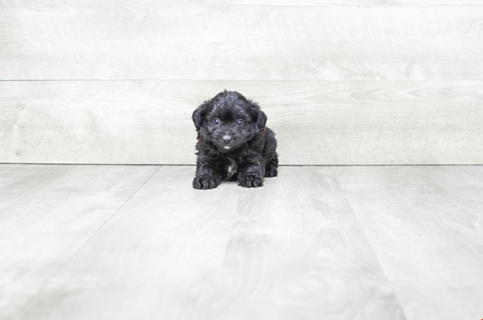 MINI AUSSIEDOODLE PUPPY - 9 week old Mini Aussies for sale