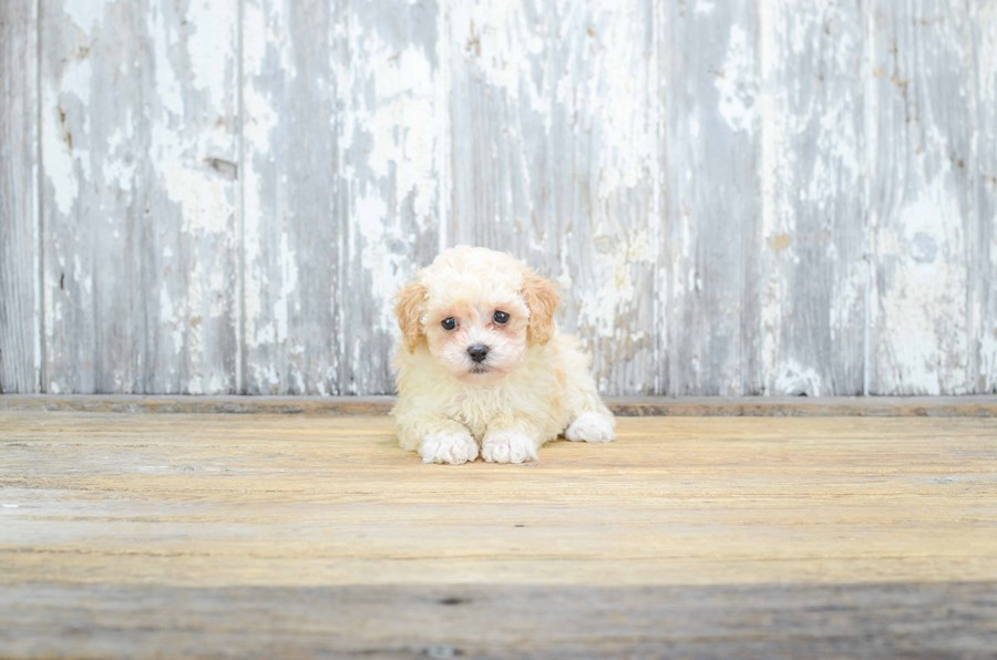 TOY POODLE PUPPY 2