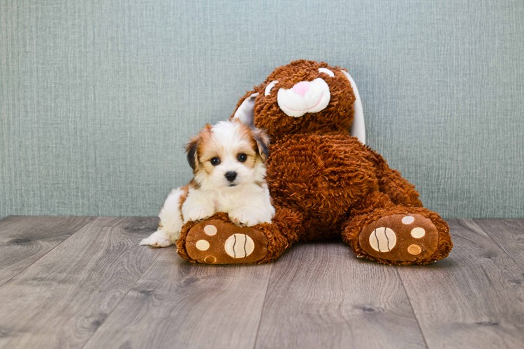TEACUP MORKIE PUPPY 2