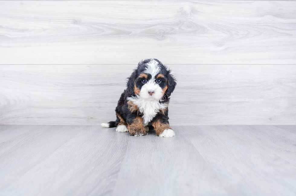 F2 MINI BERNEDOODLE PUPPY - 6 week old Mini Bernedoodle for sale